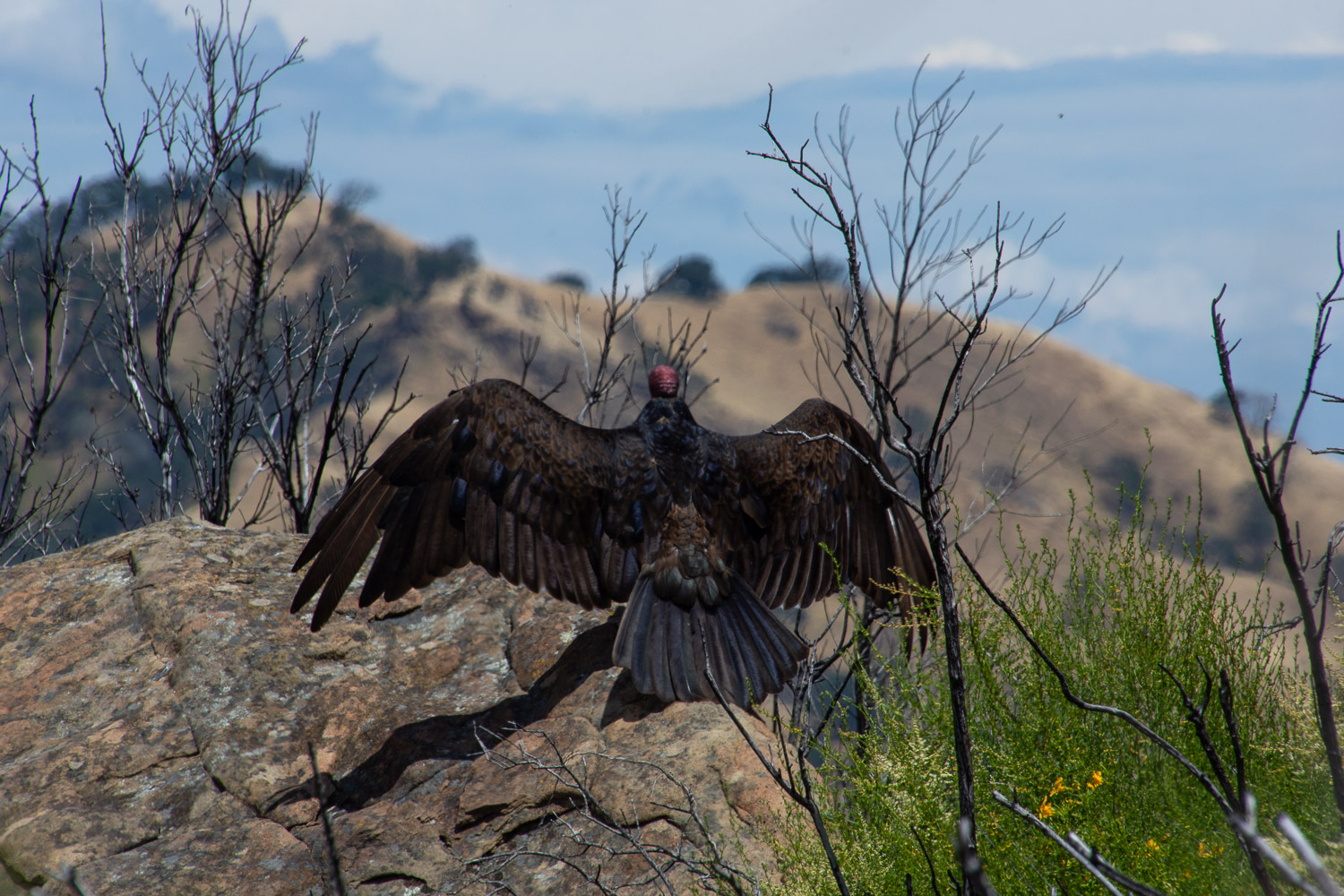 Turkey vulture at Stebbins Cold Canyon.