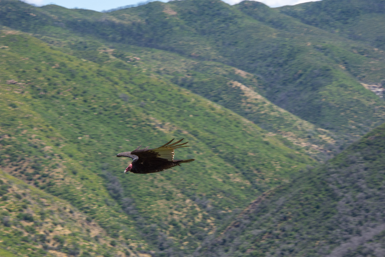 Turkey buzzard at Stebbins Cold Canyon