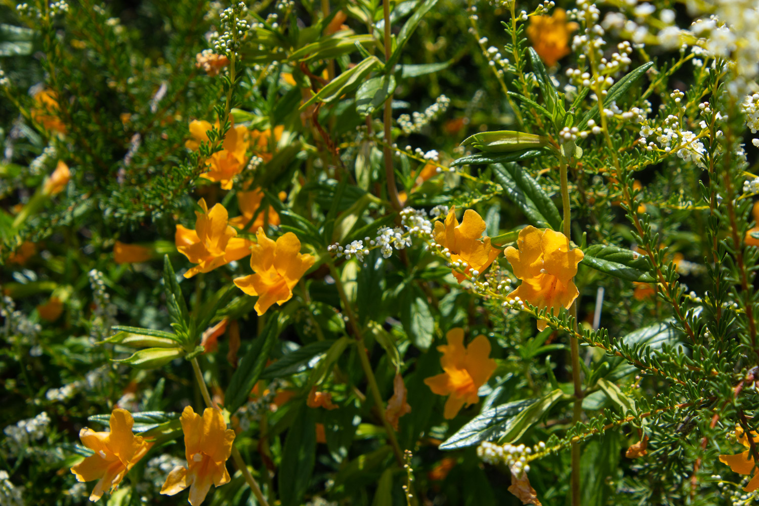 Monkey flower at STebbins Cold canyon