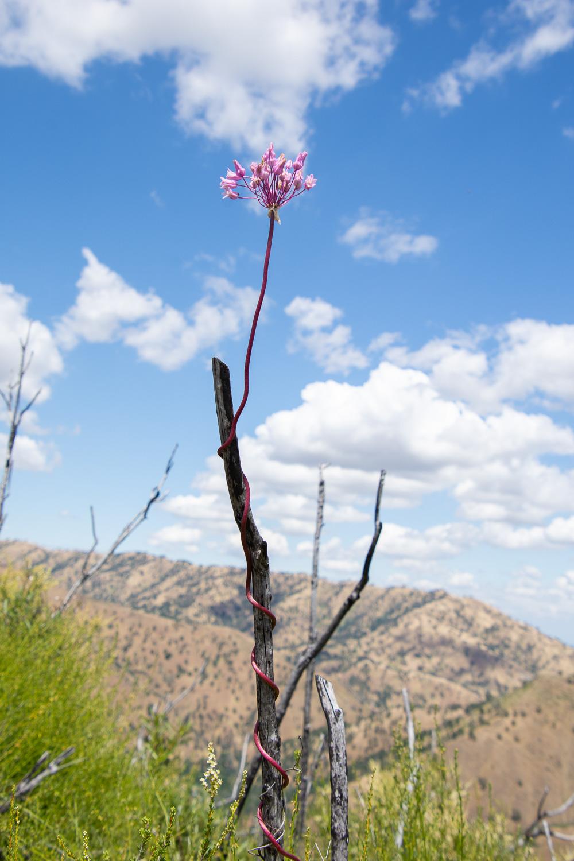 Twining snake lily at stebbins cold canyon