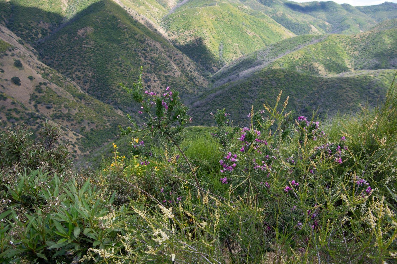Chaparral pea at Stebbins Cold Canyon