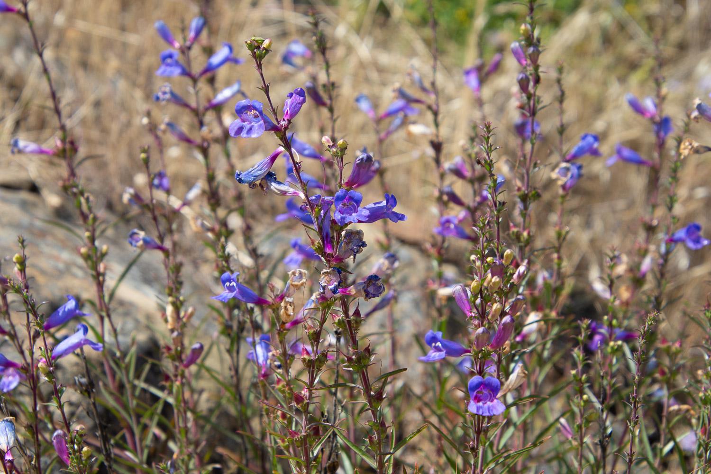Penstomen at Stebbins Cold Canyon