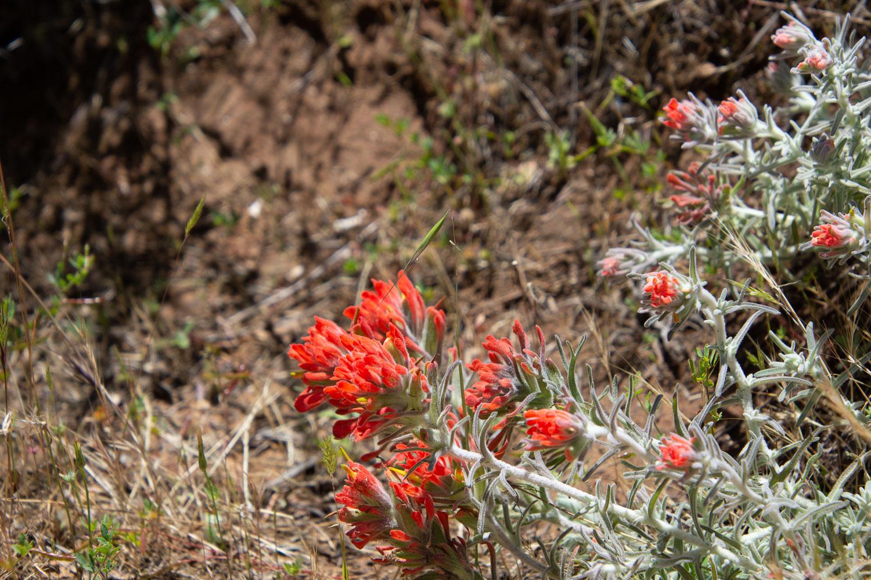 Paintbrush-wildflowers
