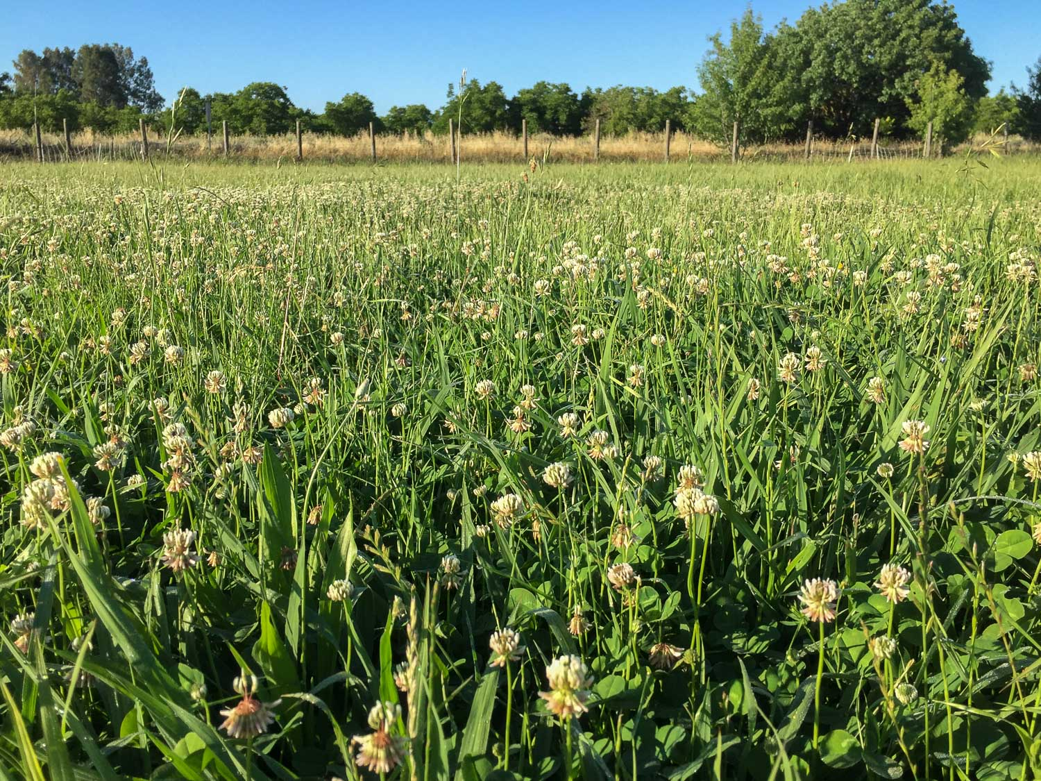 clover thriving in the pasture.jpg