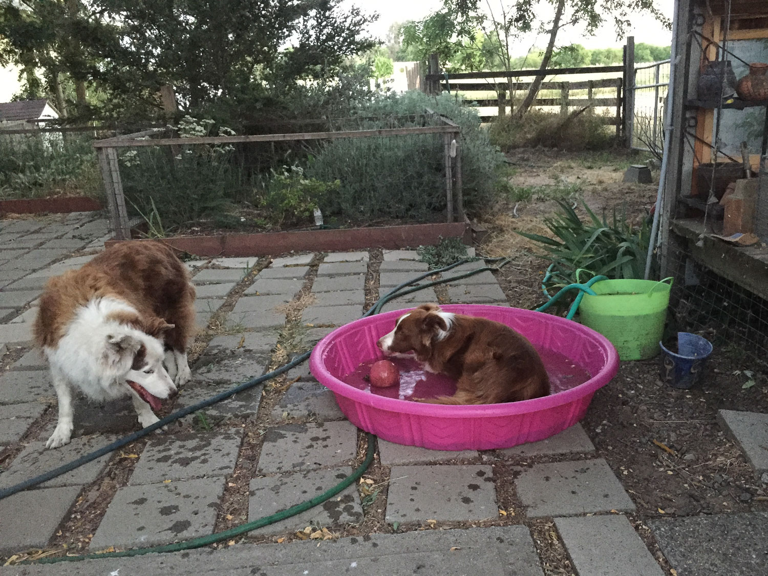Border collies cooling off in a pool.