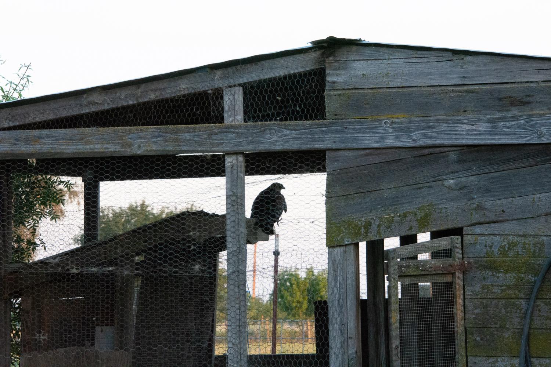Hawk in the chicken house.