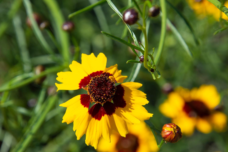 coreopsis-dye flower