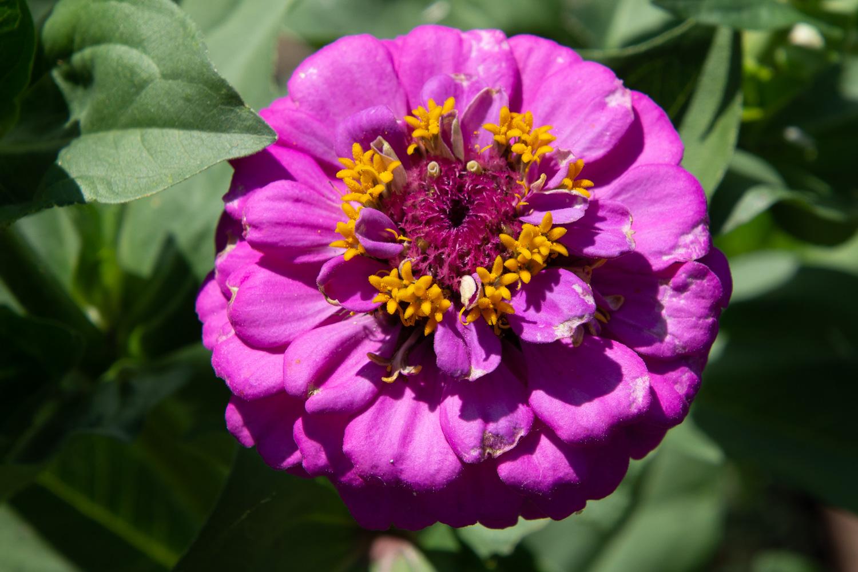Zinnia in the dye garden.