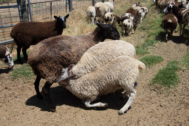 BFL-x and huge lambs nursing