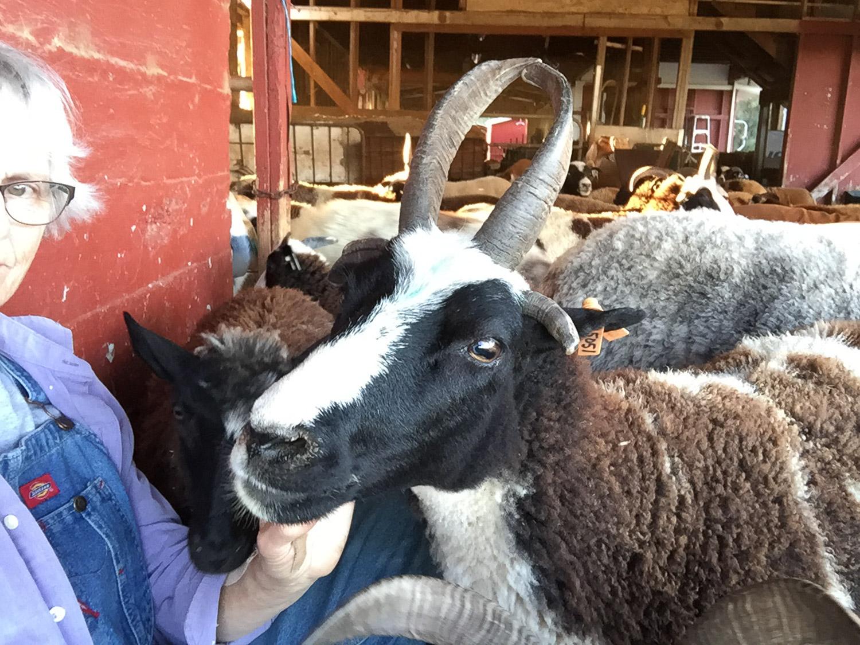 Friendly pet Jacob sheep