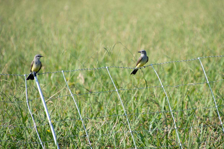 Western kingbirds on the fence.