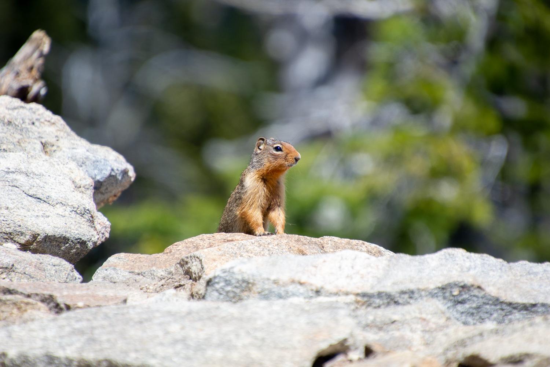 Chipmunk at Brundage Mountain lookout, Idaho.