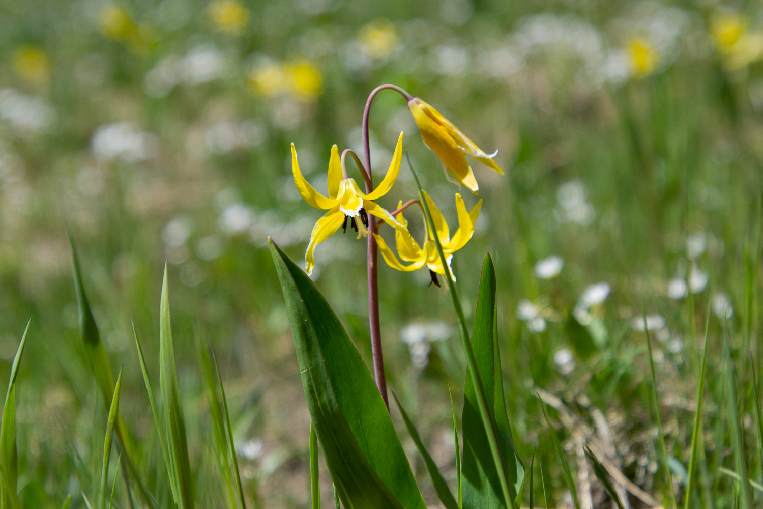 Yellow avalanche lily