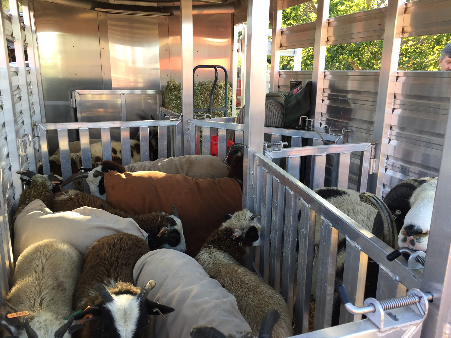 Sheep in the trailer ready to get on the road.