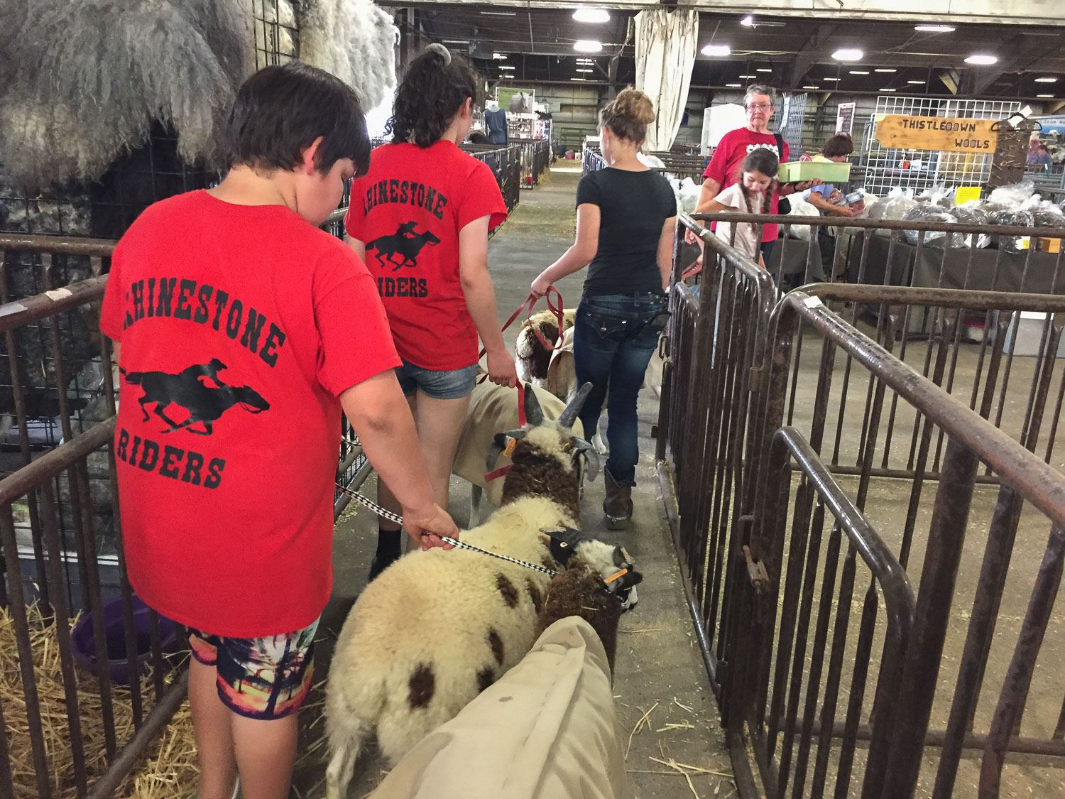 Taking sheep into the fairgrounds.