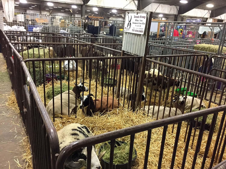 Sheep in place at Black Sheep Gathering.
