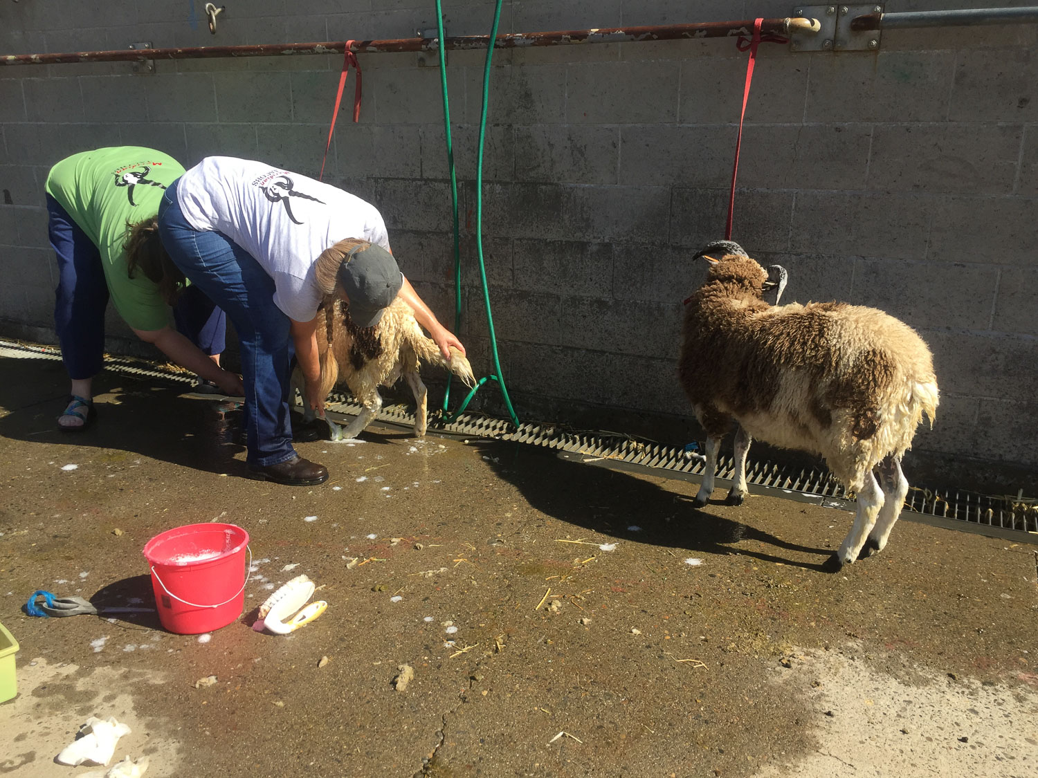 Washing sheep before the show at California State Fair.