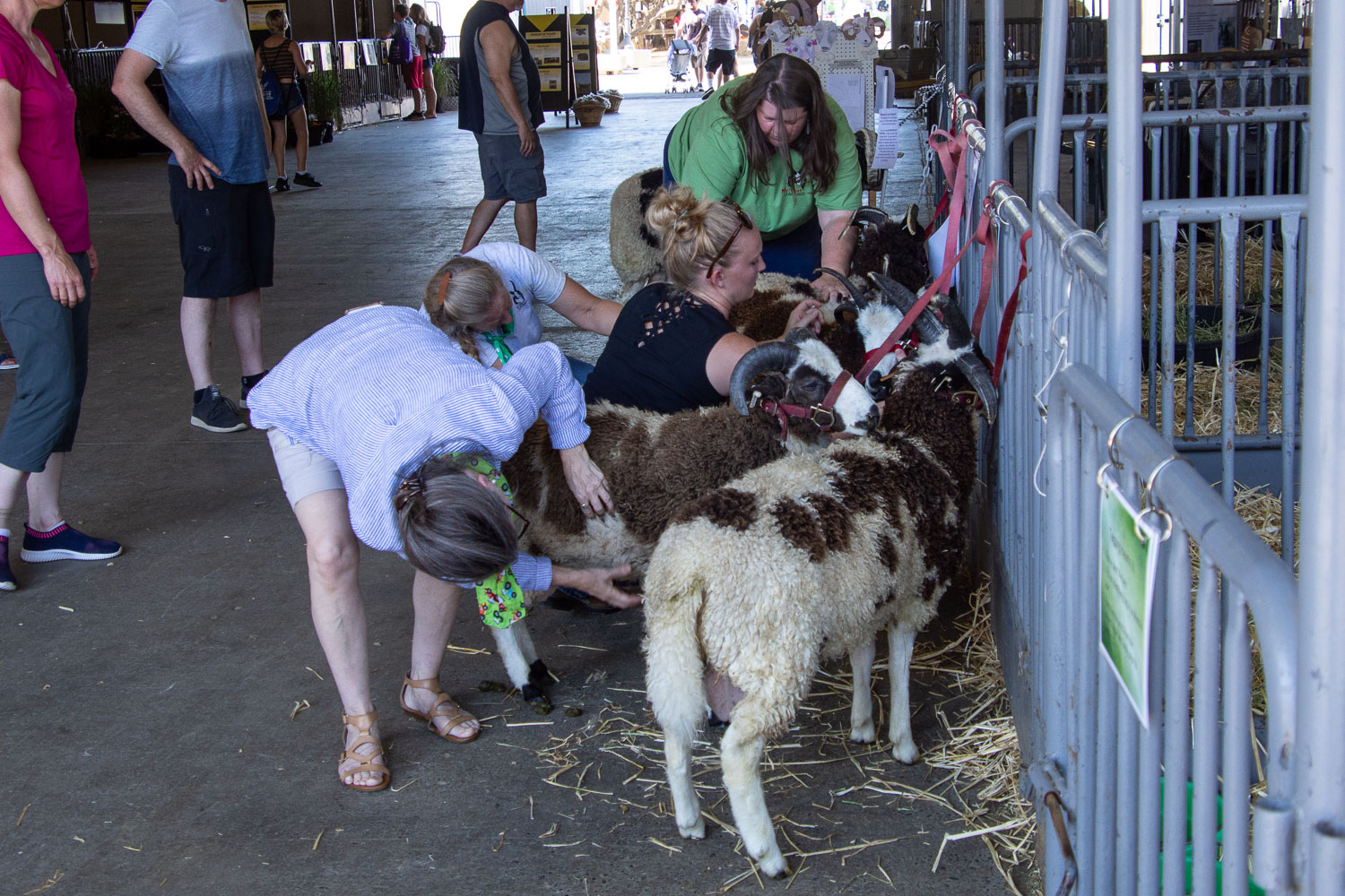 Getting sheep ready for show at california state fair.