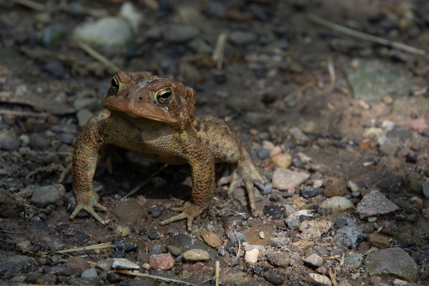 Toad in Cuyahoga Valley National Park