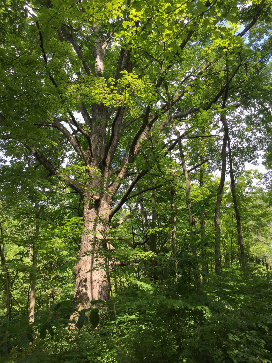 Huge tree in Ohio forest.