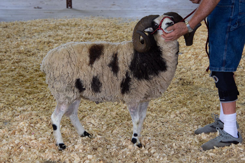 Jacob sheep show