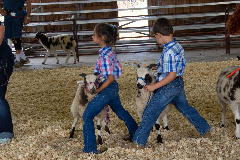 Showing Jacob sheep