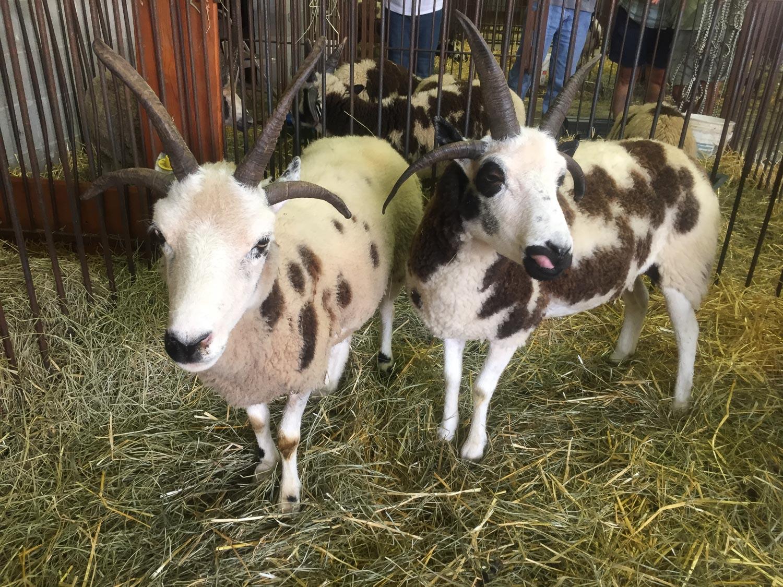 Jacob ewes