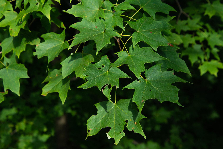 Maple leaves in Holden Arboretum, Ohio.
