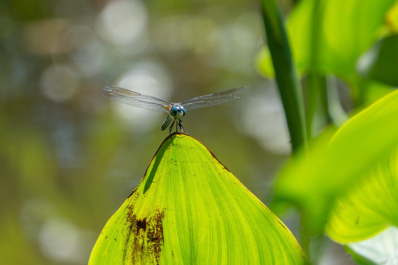 Dragonfly in Holden Arboretum, Ohio.