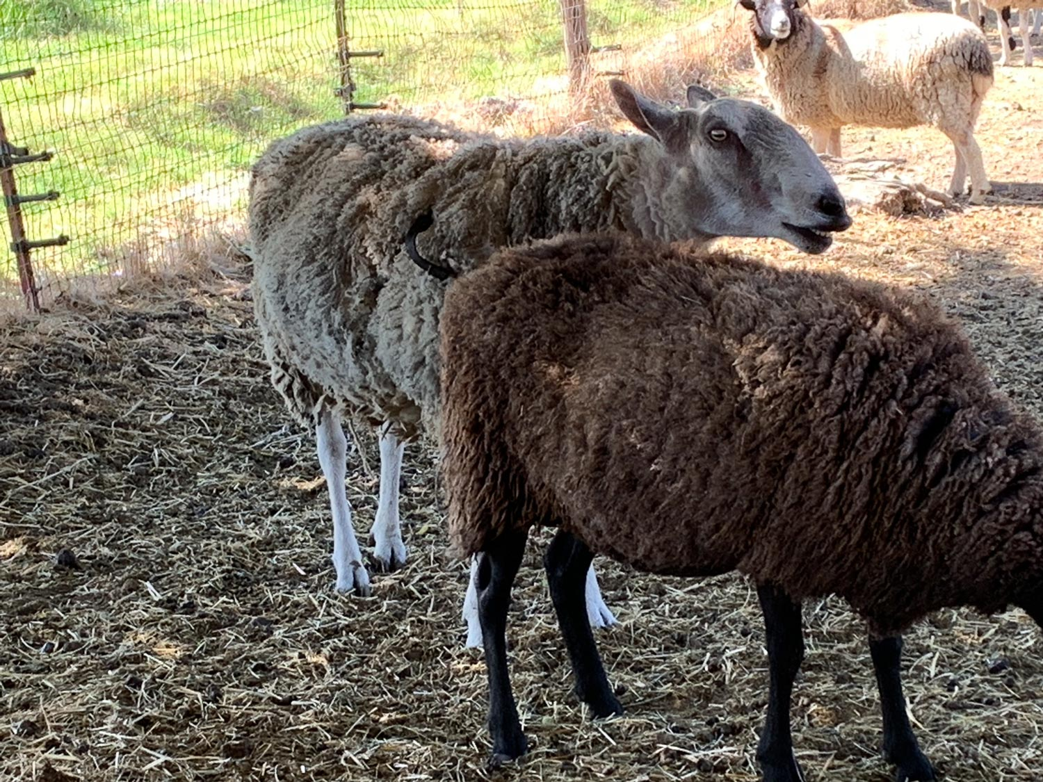 BFL ram and ewes