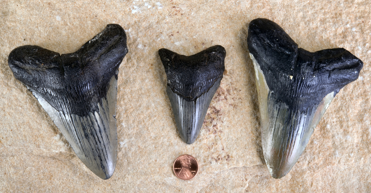 Fossilized megalodon teeth, shown with a penny for size comparison.