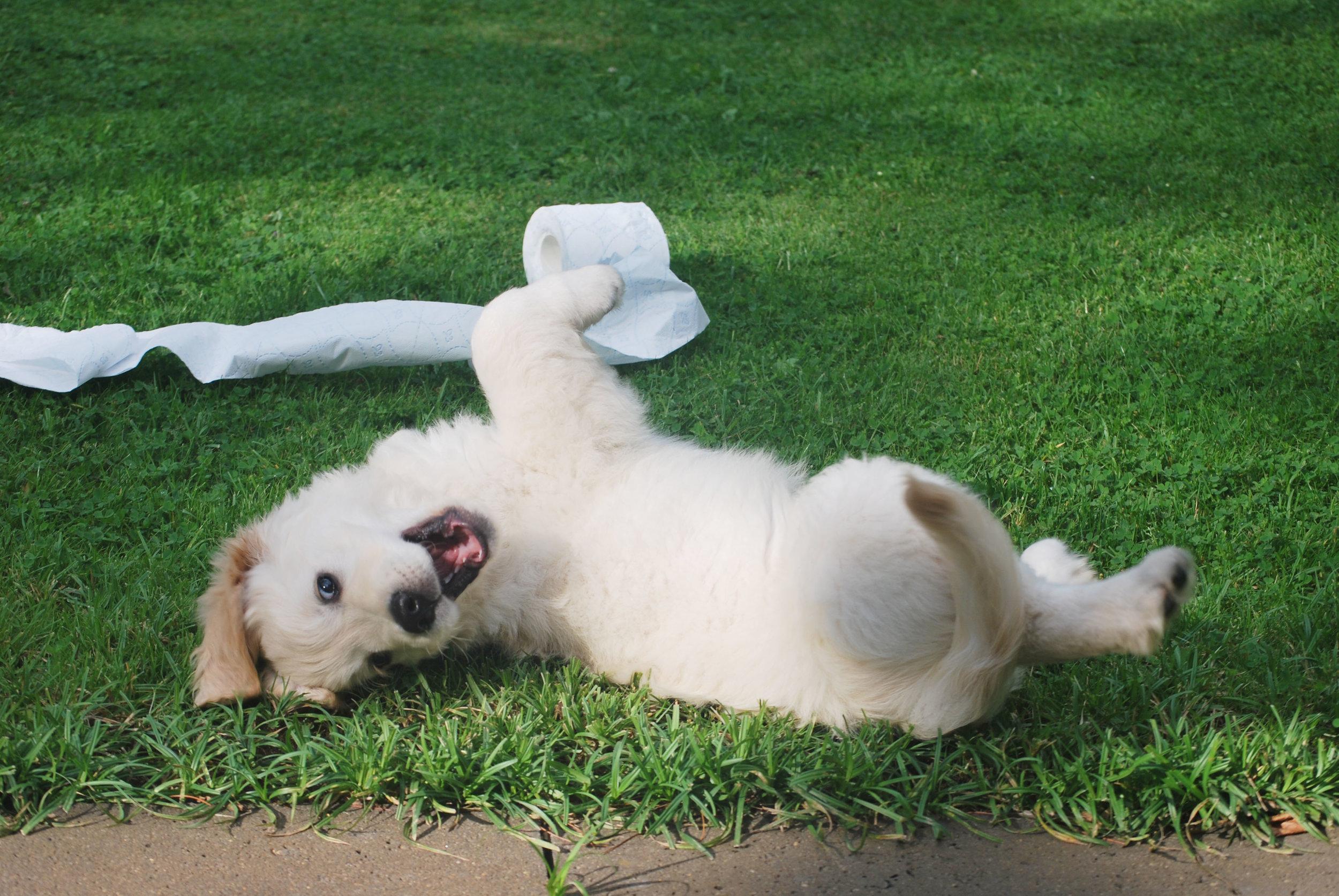 puppy potty training denver family pupz