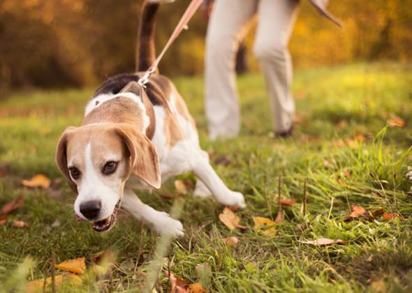 dog pulling on leash.jpeg