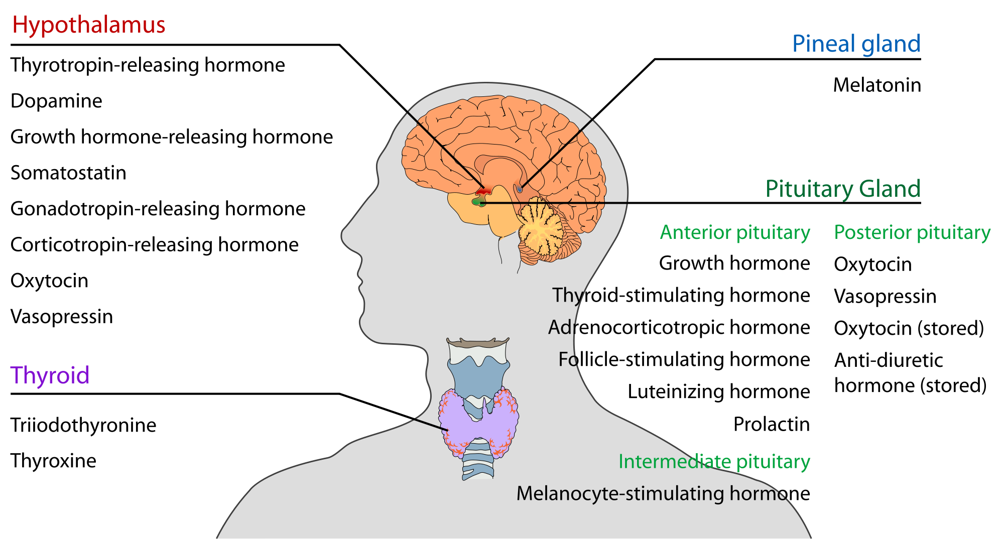Thyroid.png