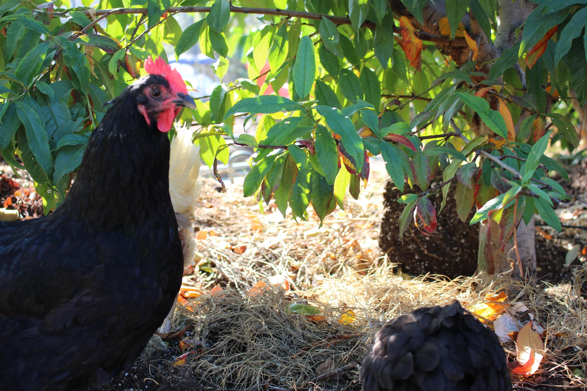 Whisper Farms chickens