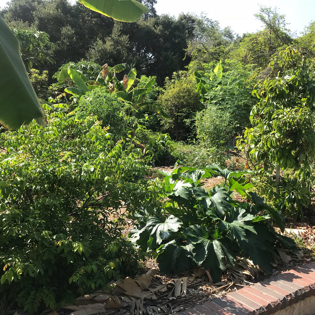Food forest in residential Sierra Madre, California