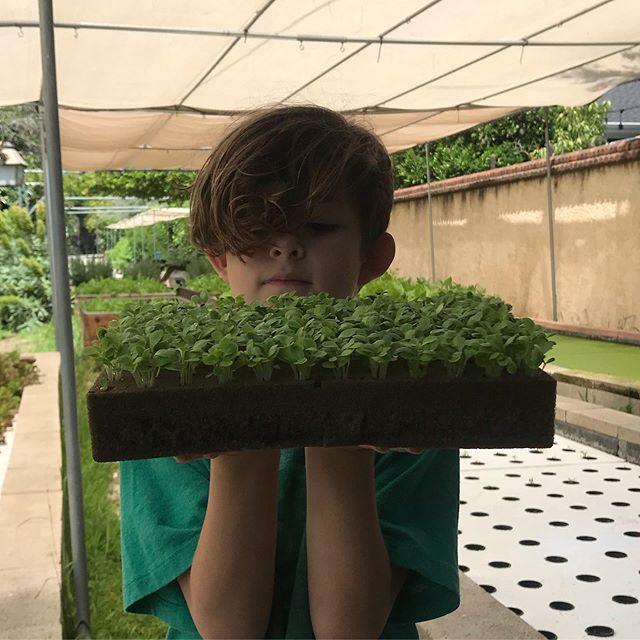 Lettuce horticubes to separate #funforkids #garden #growmorefood #atwatervillagefarmersmarket #vegetablegarden #kidswhogarden #hydroponicgarden #deepwaterculture #vegetables #leafygreens #urbanfarm #grow
