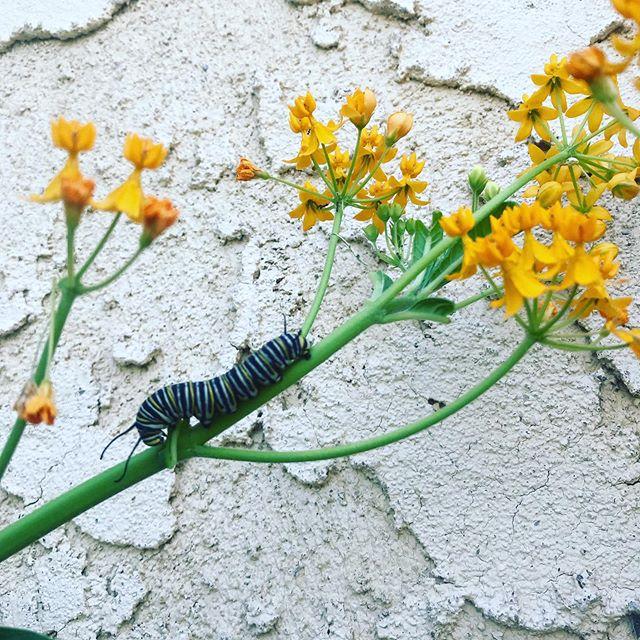 Monarch caterpillar on some milkweed #savethemonarchs #plantmilkweed #createhabitats #milkweed #asclepias #monarch #butterfly