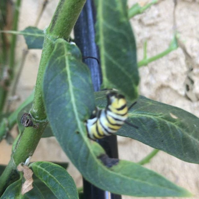 These Monarch caterpillars are almost finished eating this milkweed.  It looks like one healthy milkweed plant can help to grow ~10 adult butterflies #butterflies #milkweed #monarch #chrysalis #savethemonarchs #growmilkweed #aphidsturnyellow #youarewhatyoueat