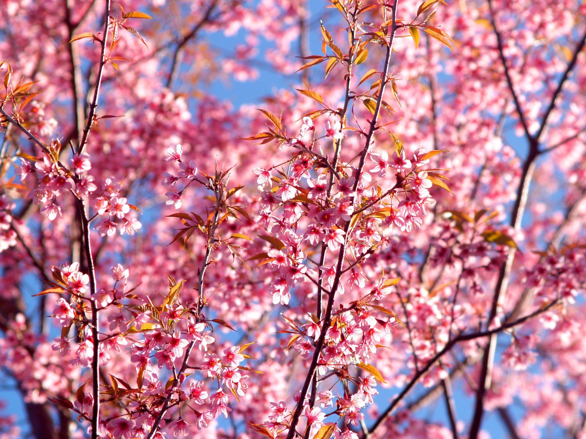 Sakura 1 (002).jpeg
