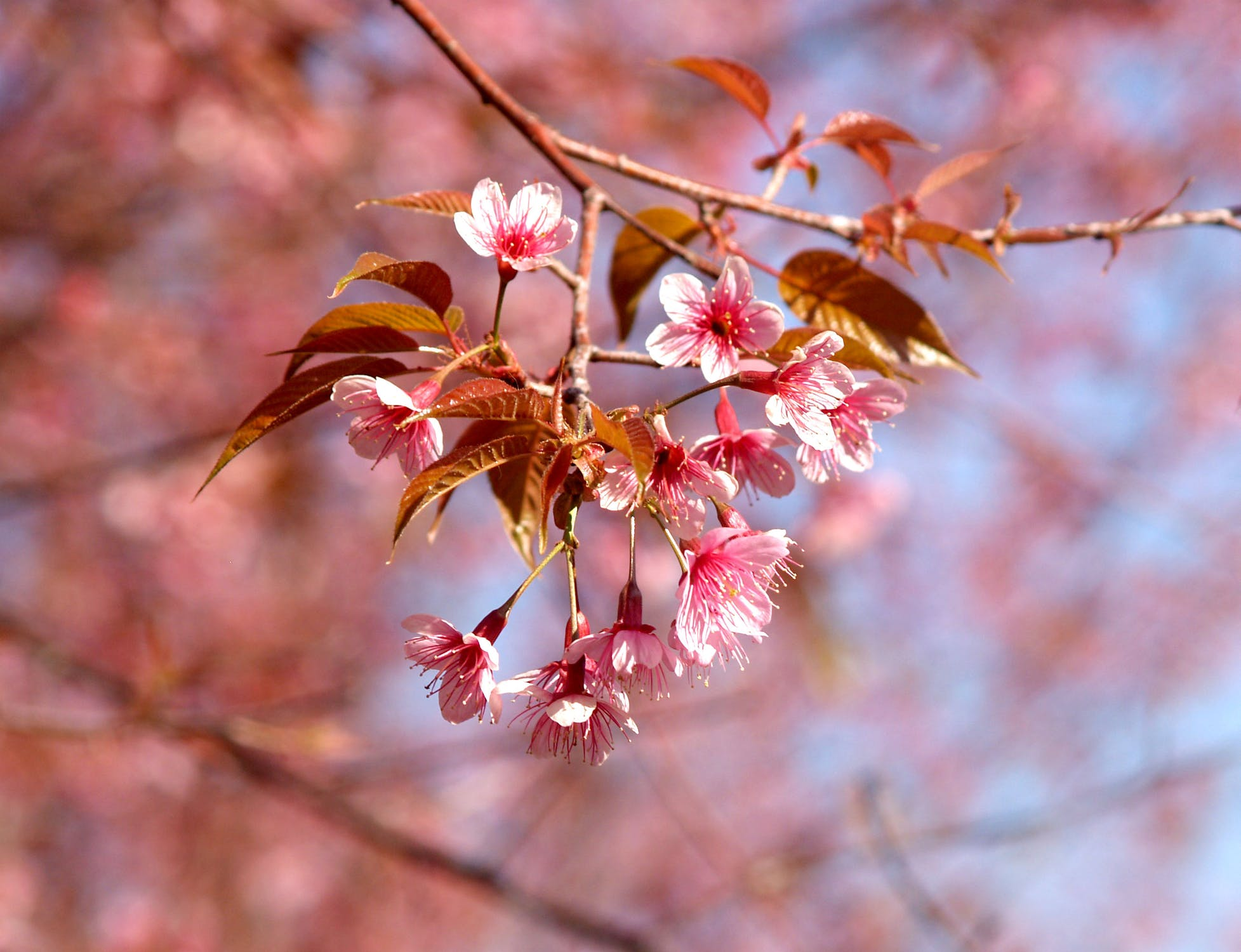 Sakura 3 (002).jpeg