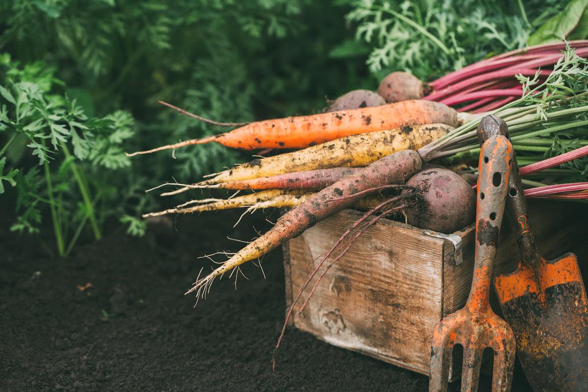 Organic-Vegetables-Carrots.jpg