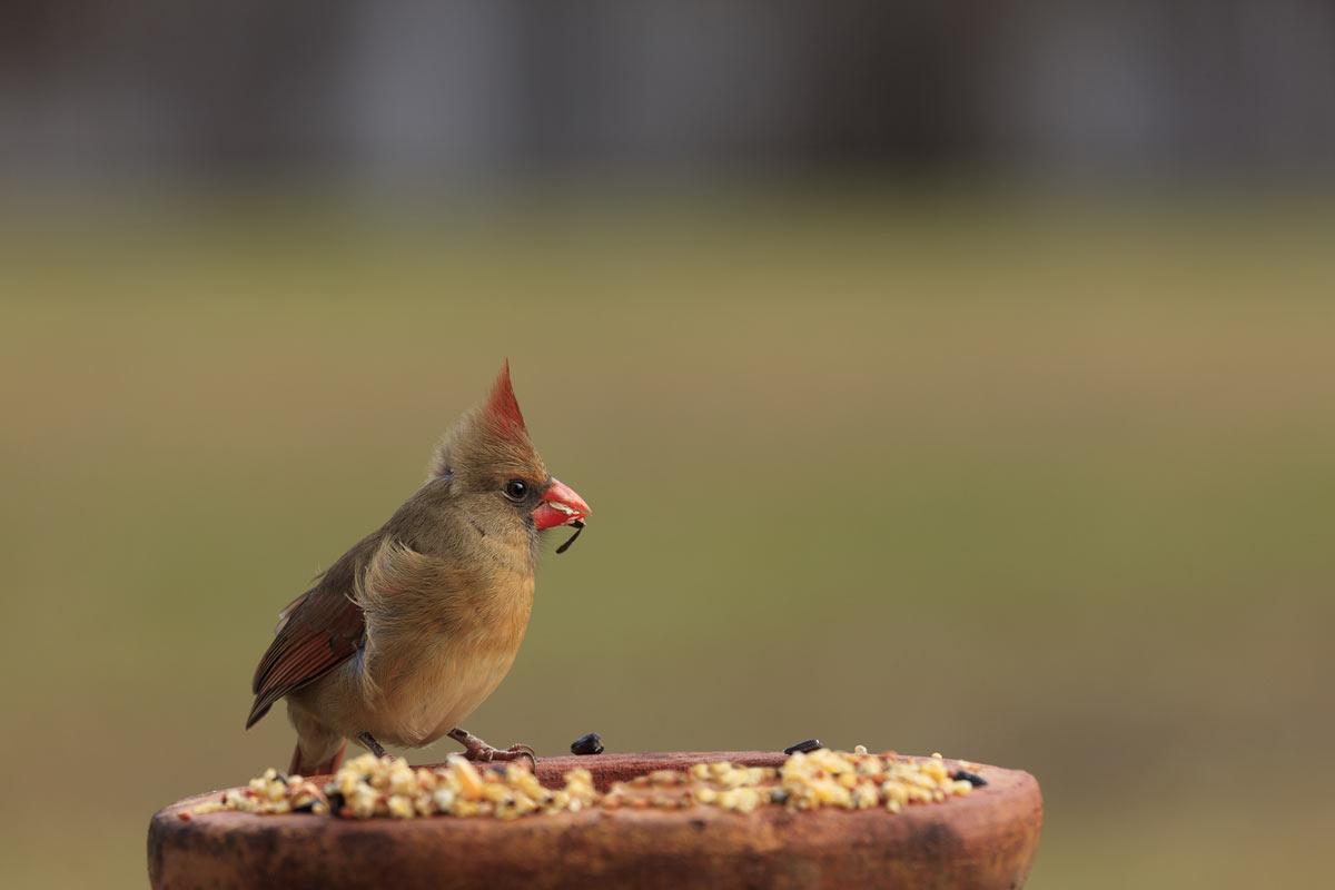 cardinal-eating-seed.jpg