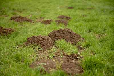 Turf damage from tunneling moles