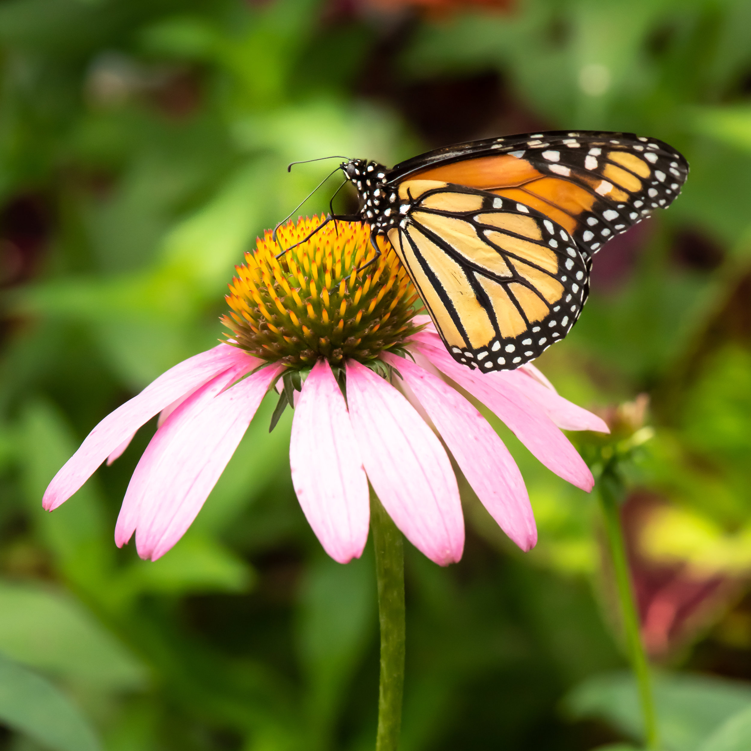 Purple Cone flower, with a common Tiger Butterfly.