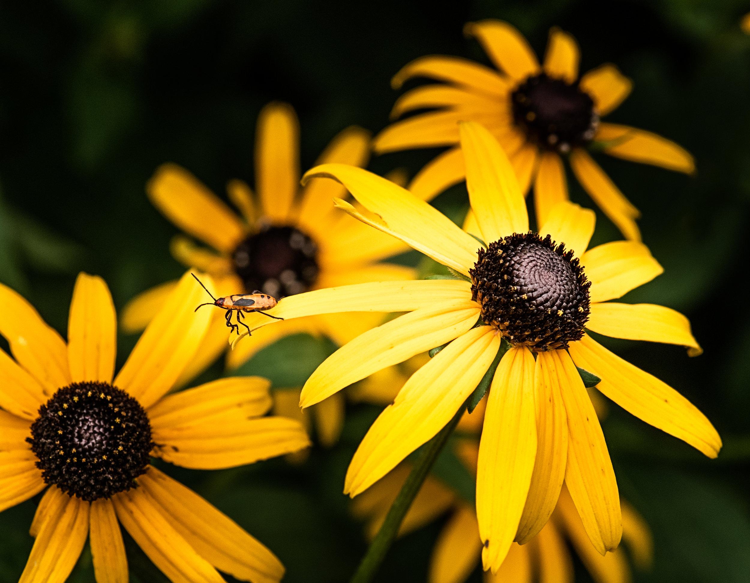 Black-Eyed Susan, with a Milkweed Bug.