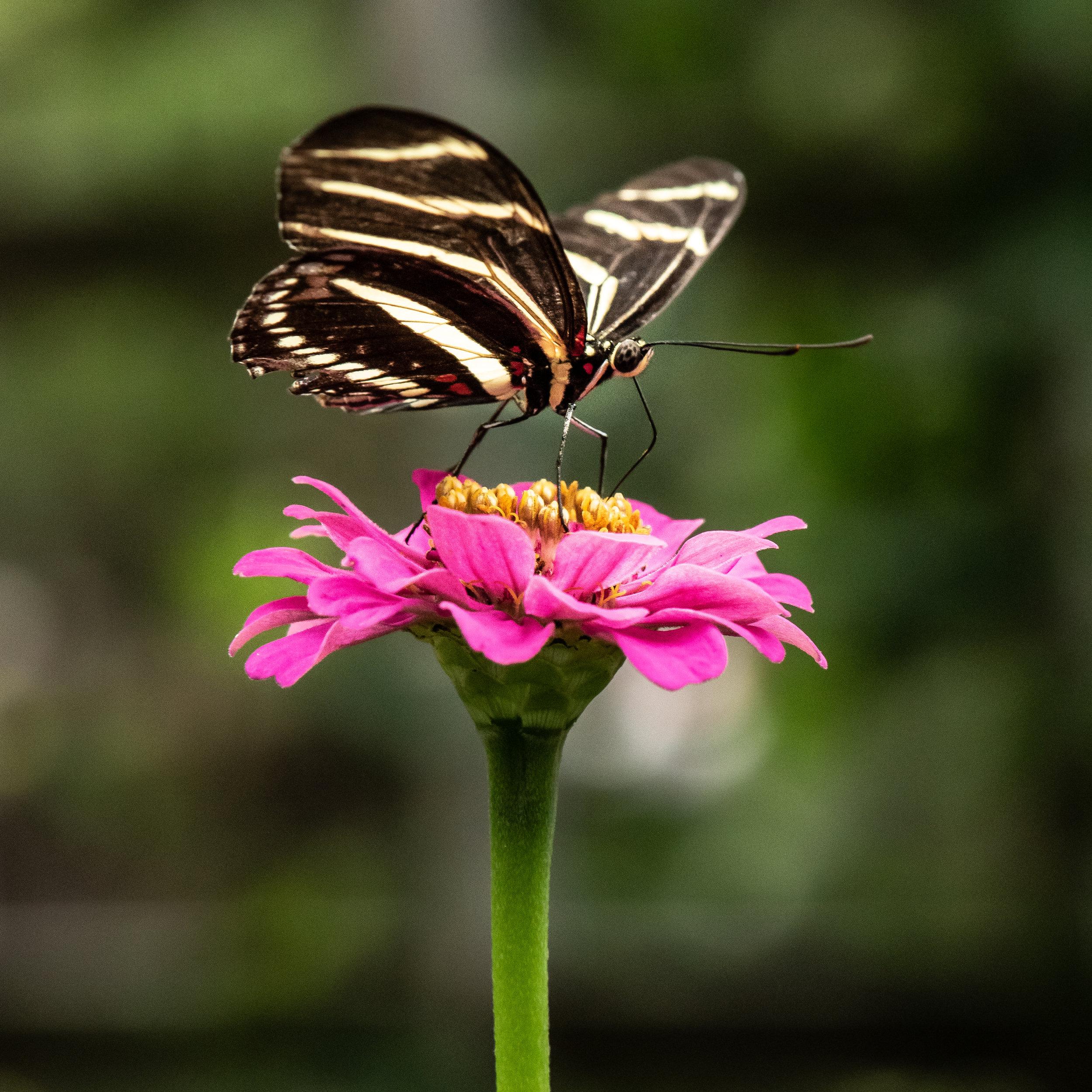 Zebra Longwing Butterfly.