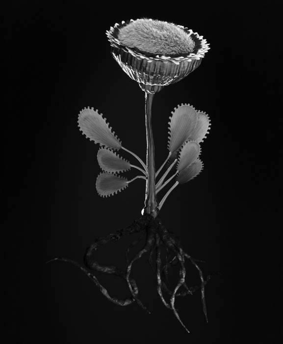 Miljohn Ruperto and Ulrik Heltoft   Voynich Botanical Studies, Specimen 50r Zima  2014 Gelatin silver print on fiber-based 20 x 24 inches
