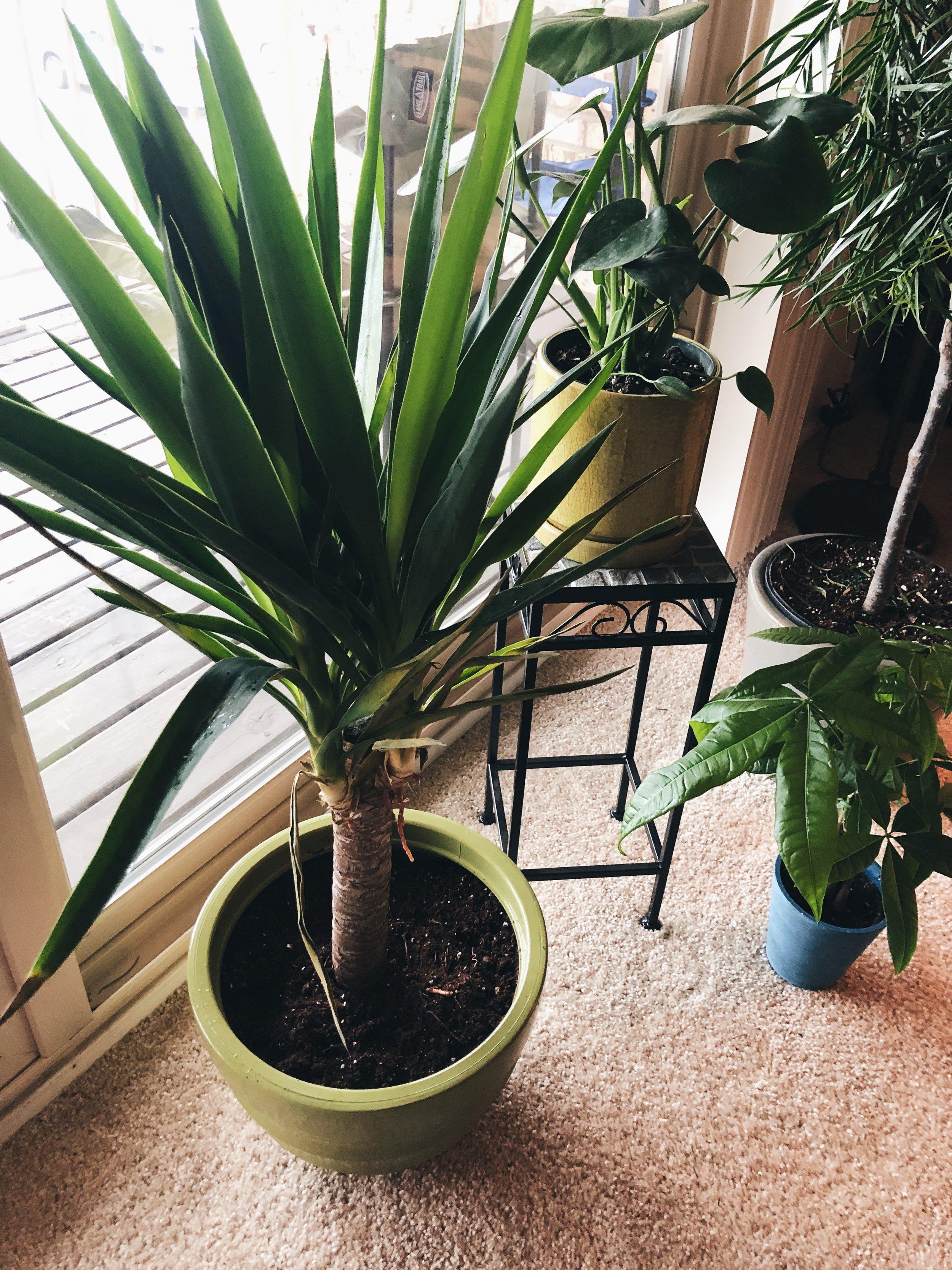 """Yucky"" the Yucca Plant - Yucca Elephantipes"