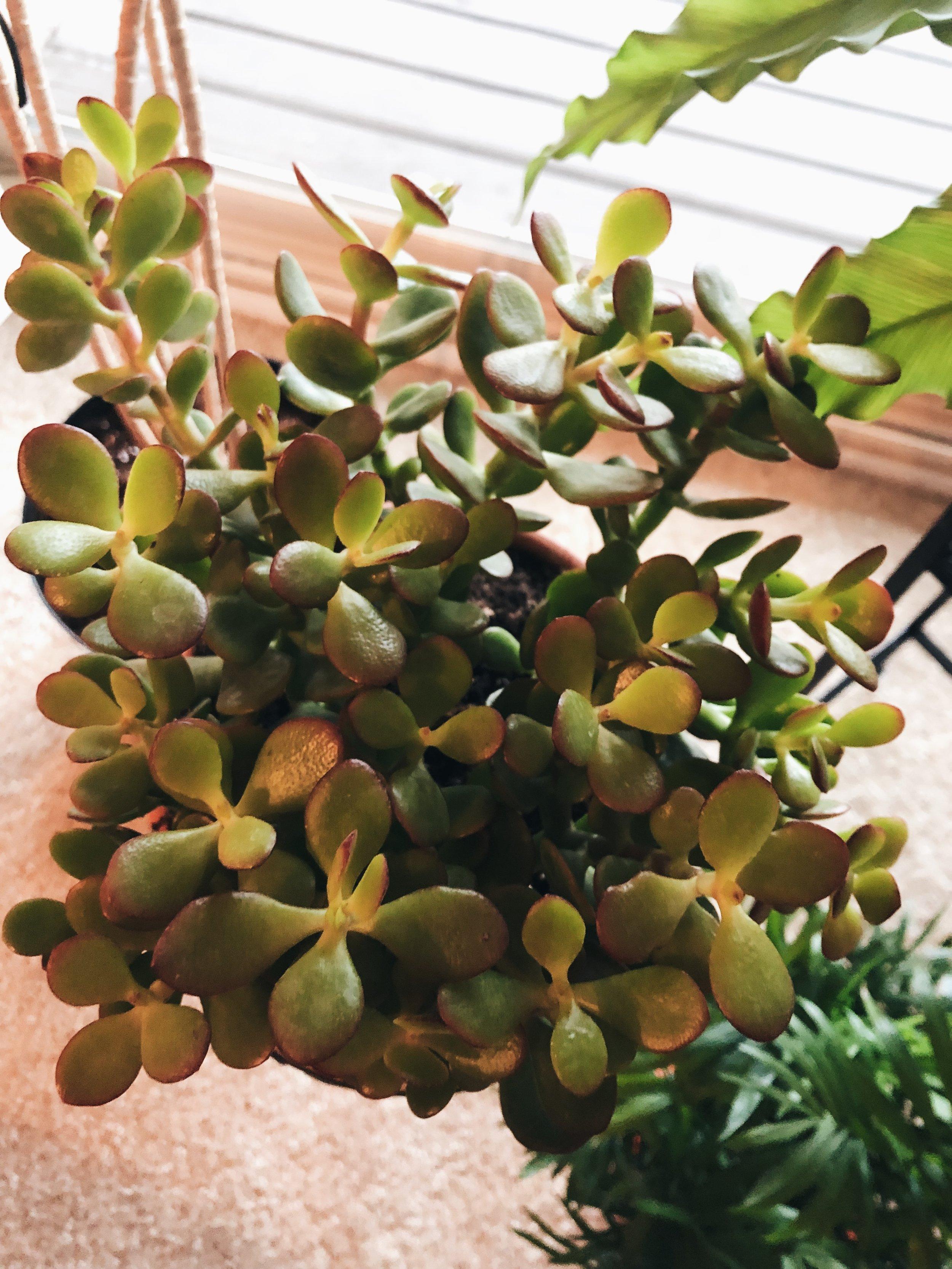 """""""DezzY"""" the Crassula - Crassulaceae"""